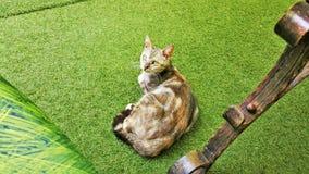 Βουλγαρική γάτα Στοκ φωτογραφία με δικαίωμα ελεύθερης χρήσης