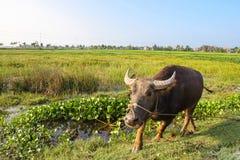 Βούβαλοι νερού που προωθούν προς το φωτογράφο σε έναν τομέα ρυζιού στο Βιετνάμ Στοκ Εικόνα