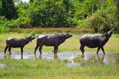 Βούβαλοι στην άγρια φύση Koh Kho Khao Στοκ Εικόνα