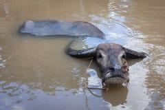 Βούβαλοι ύδατος. Βιετνάμ Στοκ φωτογραφίες με δικαίωμα ελεύθερης χρήσης
