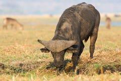 Βούβαλοι ακρωτηρίων του Bull που σκάβουν στη λάσπη Στοκ φωτογραφία με δικαίωμα ελεύθερης χρήσης