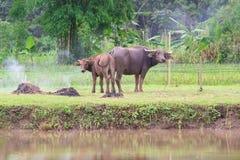 βούβαλοι: ζώα, θηλαστικά, κατοικίδια ζώα, επειδή οι αγρότες ταΐζουν τα βοοειδή όπως Στοκ Φωτογραφίες