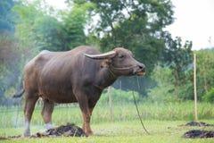 βούβαλοι: ζώα, θηλαστικά, κατοικίδια ζώα, επειδή οι αγρότες ταΐζουν τα βοοειδή όπως Στοκ εικόνες με δικαίωμα ελεύθερης χρήσης
