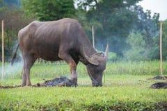 βούβαλοι: ζώα, θηλαστικά, κατοικίδια ζώα, επειδή οι αγρότες ταΐζουν τα βοοειδή όπως Στοκ Εικόνες