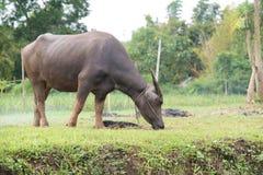 βούβαλοι: ζώα, θηλαστικά, κατοικίδια ζώα, επειδή οι αγρότες ταΐζουν τα βοοειδή όπως Στοκ Εικόνα