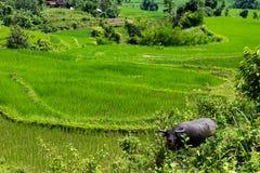 Βούβαλοι νερού σε έναν τομέα ρυζιού στο Βιετνάμ Στοκ Φωτογραφίες