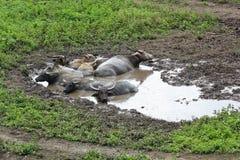 Βούβαλοι νερού σε μια λάσπη Στοκ Φωτογραφία