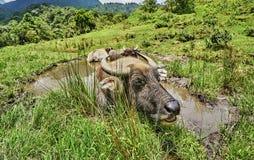 Βούβαλοι νερού στη στήριξη στο νερό στο Βιετνάμ Στοκ Εικόνα