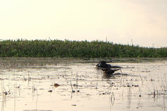 Βούβαλοι νερού Στοκ φωτογραφία με δικαίωμα ελεύθερης χρήσης