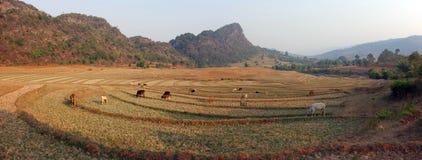 βούβαλοι που τρώνε τη χλόη, το Μιανμάρ Στοκ φωτογραφία με δικαίωμα ελεύθερης χρήσης