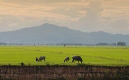 Βούβαλοι του Βιετνάμ και ο τομέας ρυζιού Στοκ εικόνες με δικαίωμα ελεύθερης χρήσης