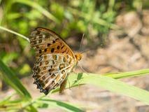 Βούρτσα-πληρωμένη πεταλούδα Στοκ φωτογραφία με δικαίωμα ελεύθερης χρήσης