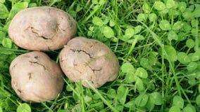 Βολβοί πατατών, που μολύνονται με τη βακτηριακή αποσύνθεση φιλμ μικρού μήκους