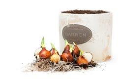 Βολβοί τουλιπών έτοιμοι για τη φύτευση και flowerpot που απομονώνεται στοκ εικόνες με δικαίωμα ελεύθερης χρήσης