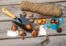Βολβοί των τουλιπών πρίν φυτεύει και την ετικέττα Στοκ Εικόνες