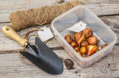 Βολβοί των τουλιπών πρίν φυτεύει σε ένα πλαστικό κιβώτιο και μια ετικέττα Στοκ εικόνες με δικαίωμα ελεύθερης χρήσης