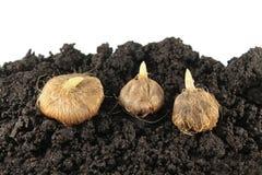 Βολβοί Ixia στο χώμα Βολβοί πρίν φυτεύει Στοκ Εικόνες