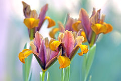Βολβοειδή λουλούδια ίριδων Στοκ φωτογραφία με δικαίωμα ελεύθερης χρήσης