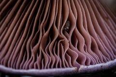 Βράγχια του μανιταριού στοκ φωτογραφία με δικαίωμα ελεύθερης χρήσης