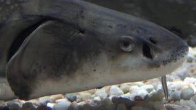Βράγχια των ψαριών στο βυθό απόθεμα βίντεο