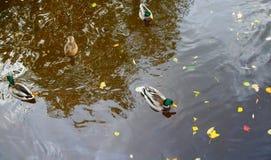 Βράδυ και πάπιες φθινοπώρου Στοκ φωτογραφία με δικαίωμα ελεύθερης χρήσης