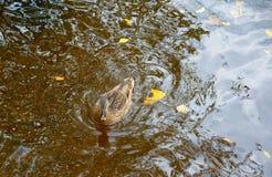Βράδυ και πάπιες φθινοπώρου Στοκ Φωτογραφίες
