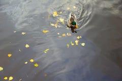 Βράδυ και πάπιες φθινοπώρου Στοκ Εικόνες