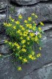 βράχοι λουλουδιών κίτρι&n Στοκ Εικόνες