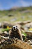 βράχος μαρμοτών Στοκ φωτογραφία με δικαίωμα ελεύθερης χρήσης