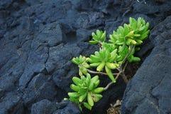 βράχος πράσινων φυτών Στοκ Εικόνες