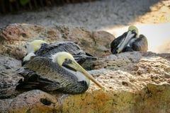 βράχος του Περού πελεκάνων paracas νησιών ballestas Στοκ Φωτογραφίες