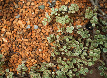 βράχος φυτών Στοκ Εικόνες