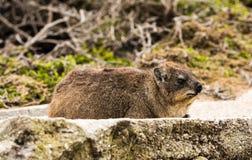 Βράχος dassie στο βράχο στη Νότια Αφρική Στοκ εικόνα με δικαίωμα ελεύθερης χρήσης