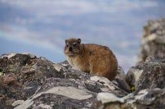Βράχος dassie, στο επιτραπέζιο βουνό, Καίηπ Τάουν, Νότια Αφρική Στοκ εικόνες με δικαίωμα ελεύθερης χρήσης