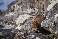 Βράχος dassie, στο επιτραπέζιο βουνό, Καίηπ Τάουν, Νότια Αφρική Στοκ Εικόνες