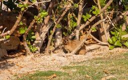 Βράχος hyrax ή capensis Procavia Νησί ο Sir Bani Yas, Ε.Α.Ε. Στοκ φωτογραφίες με δικαίωμα ελεύθερης χρήσης