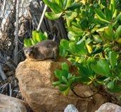Βράχος hyrax ή capensis Procavia συνεδρίαση στη μεγάλη πέτρα Στοκ Εικόνα