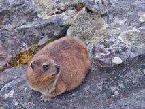 βράχος hyrax ή dassie στο βράχο Στοκ Εικόνες