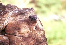 Βράχος hyrax, εθνικό πάρκο Nakuru λιμνών, Κένυα Στοκ Φωτογραφία