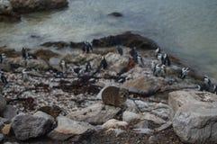 Βράχος Hyrax και αποικία Penguin στο Hermanus, διαδρομή κήπων Στοκ Φωτογραφία