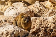 Βράχος hyrax στη δύσκολη έκταση στις άγρια περιοχές Στοκ εικόνες με δικαίωμα ελεύθερης χρήσης
