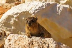Βράχος hyrax στη δύσκολη έκταση στις άγρια περιοχές Στοκ Εικόνες