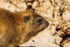 Βράχος hyrax στη δύσκολη έκταση στις άγρια περιοχές Στοκ Φωτογραφίες