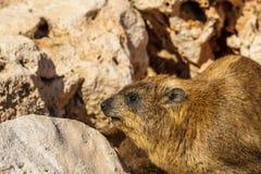 Βράχος hyrax στη δύσκολη έκταση στις άγρια περιοχές Στοκ φωτογραφία με δικαίωμα ελεύθερης χρήσης