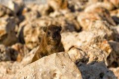 Βράχος hyrax Στοκ Εικόνες