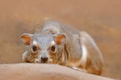 Βράχος Hyrax, capensis Procavia, Νότια Αφρική Σπάνιο ενδιαφέρον θηλαστικό από την Αφρική Βράχος Hyray στην πέτρα στο δύσκολο βουν Στοκ φωτογραφία με δικαίωμα ελεύθερης χρήσης
