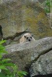 Βράχος Hyrax - capensis Procavia Στοκ εικόνα με δικαίωμα ελεύθερης χρήσης