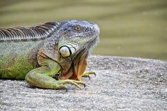 βράχος iguana Στοκ Εικόνα