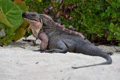 Βράχος Iguana Στοκ εικόνες με δικαίωμα ελεύθερης χρήσης