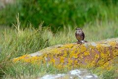 Βράχος pipit, επιφύλαξη φύσης νησιών Farne, Αγγλία Στοκ Φωτογραφίες
